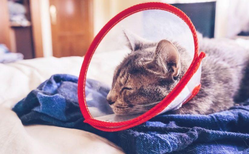 Cuidados pós-castração de gatos