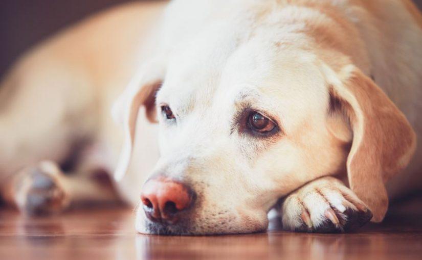 Entenda o diagnóstico de Hipertensão Arterial em cães
