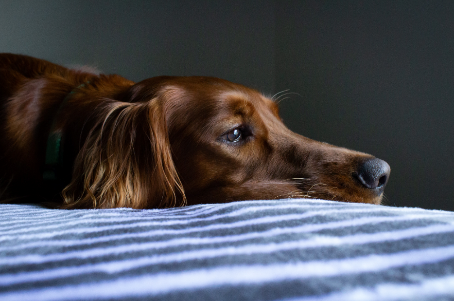 síndrome de ansiedade canina