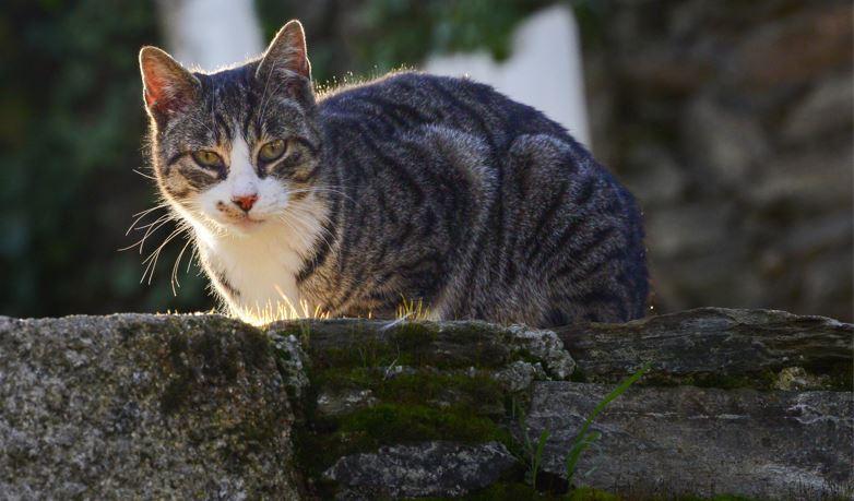 Você sabe por que o gato sempre cai em pé? Descubra!